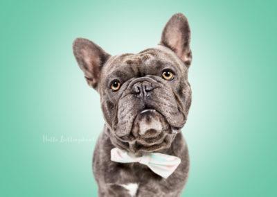 Carlo - Französische Bulldogge | Hallo Lieblingshund - Hundefotografie zum Anfassen