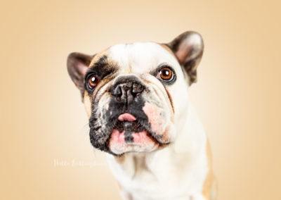 Bodo - Französische Bulldogge | Hallo Lieblingshund - Hundefotografie zum Anfassen