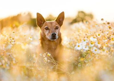 Outdoor Shooting - Shooting mit Hund draußen | Shooting im Blumenfeld in Margeriten