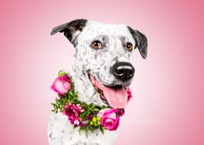 Perdy - Dalmatiner Border Collie Labrador Retriever Mix | Hallo Lieblingshund - Hundefotografie zum Anfassen