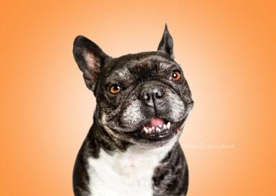 Maja - Französische Bulldogge | Hallo Lieblingshund - Hundefotografie zum Anfassen