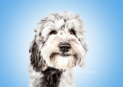 Elmo - Mini Aussie Doodle | Hallo Lieblingshund - Hundefotografie zum Anfassen