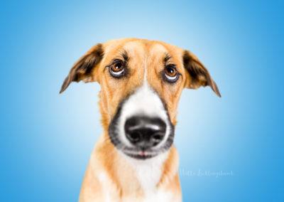 Nikita - Podenco Mix | Hallo Lieblingshund - Hundefotografie zum Anfassen