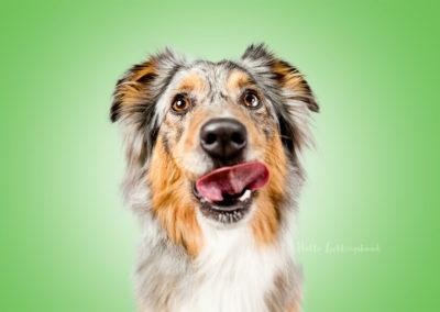 Joyce - Australian Shepherd | Hallo Lieblingshund - Hundefotografie zum Anfassen