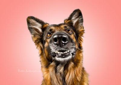 Mila - Stockhaar Schäferhund | Hallo Lieblingshund - Hundefotografie zum Anfassen