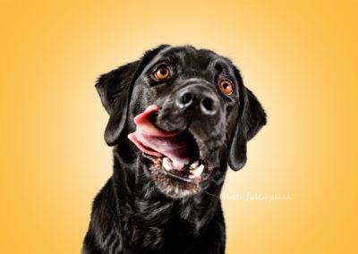 Ajax - Labrador Retriever Münsterländer Mix | Hallo Lieblingshund - Hundefotografie zum Anfassen