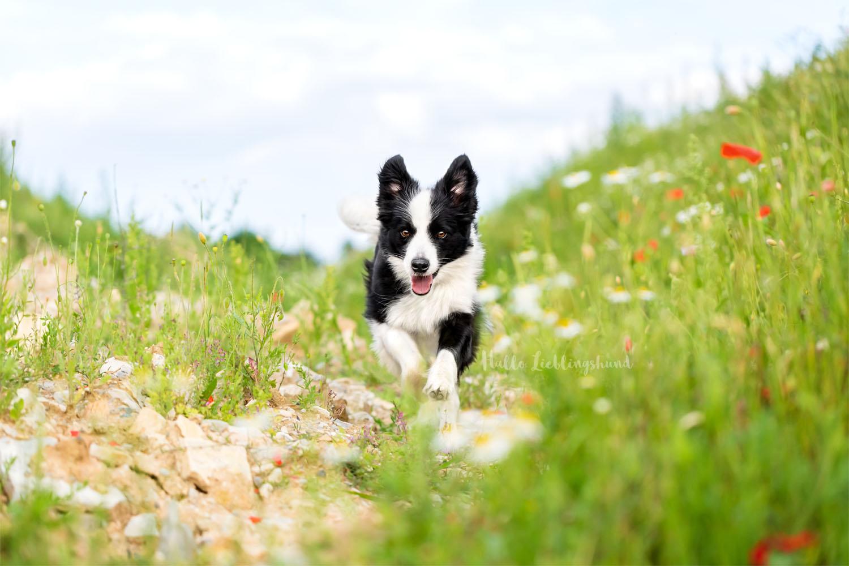 Outdoor Shooting - Shooting mit Hund draußen | Shooting im Mohnfeld