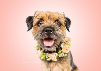 Wilma - Border Terrier | Hallo Lieblingshund - Hundefotografie zum Anfassen
