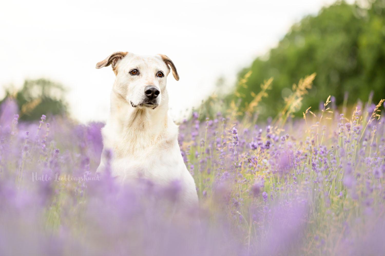 Outdoor Shooting - Shooting mit Hund draußen | Shooting im Lavendel
