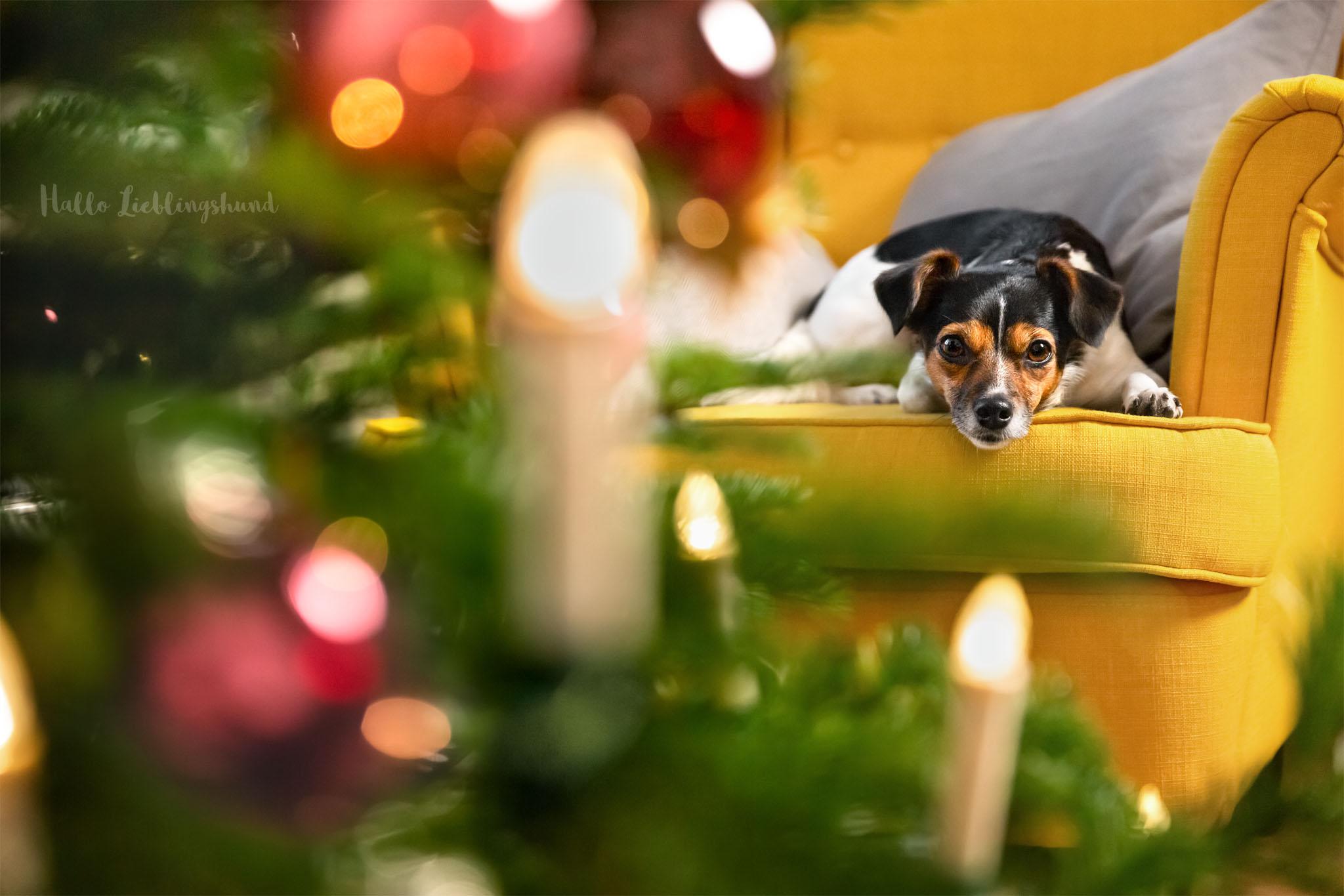 Idee für Weihnachtsfotos mit Hund - Fotos mit Weihnachtsbaum